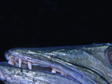 Close Up of the Great Barracuda Open Mouth  Teeth  and Eye (Sphyraena Barracuda)