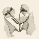 X-Ray of Euphorbia Flowers with Green Bells of Ireland Petals