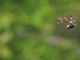 Honey Bee Mating