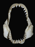 Jaws of a Great White Shark (Carcharodon Carcharias)