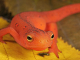 Red Eft Head (Notophthalmus Viridescens)  the Terrestrial Phase of the Eastern Newt  Eastern USA