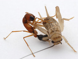 The Hunting Technique of the Jumping Ant (Harpegnathos Saltator)