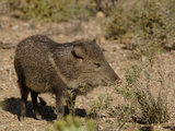 Javelina or Collared Peccary (Peccary Angulatus)  Arizona  USA