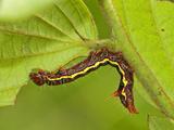 Notonodid Caterpillar Eating  Ecuador