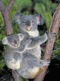Koala (Phascolarctos Cinereus) Mother and Baby  Victoria  Australia