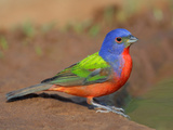 Painted Bunting Male (Passerina Ciris)  Texas  USA