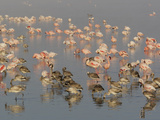 Adult and Juvenile Lesser Flamingos (Phoenicopterus Minor) Feeding  Kenya  Africa