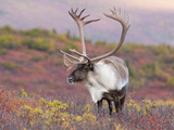 Caribou Bull (Rangifer Tarandus)  Denali National Park  Alaska