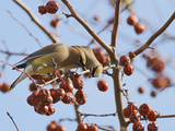 Cedar Waxwing (Bombycilla Cedrorum)