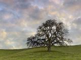 Lone Oak Tree  Lafayette  California  USA