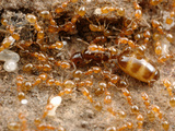 Queen and Worker Ants (Monomorium Sydneyense) in the Brood Nest  Yandoit  Victoria  Australia