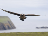 Skua in Flight (Catharacta Antarctica)  Fair Isle  Scotland