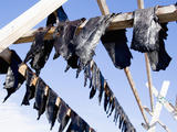 Hunted Narwhal Whale Meat Hung to Dry in the Midnight Sun at Qeqertat  Near Qaanaq