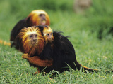 Golden-Head Lion Tamarin (Leontopithecus Chrysomelas) Female and Young  Captive