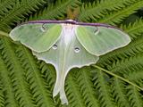 Luna Moth (Actias Luna)  Vermont  USA