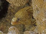 Lichen Moray (Gymnothorax Hubbsi)  Family Muraenidae  Caribbean