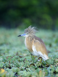 Squacco Heron with Crest Feathers Raised (Ardeola Ralloides)  Kenya