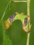 Silkmoth Caterpillar  Fifth Instar (Titaea Lemoulti)  Ecuador