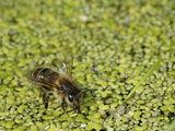 Supported by Duckweed on a Pond (Lemna) Honey Bee Fills its Crop to Carry Water Back to the Hive