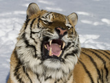 Siberian Tiger (Panthera Tigris Altaica) in Snow  Captive