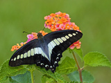 Bluebottle or Blue Triangle Butterfly (Graphium Sarpedon)  Japan