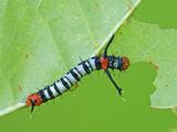 Silkmoth Caterpillar  First Instar (Titaea Lemoulti)  Ecuador