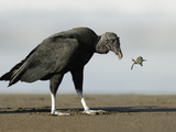 Black Vulture Feeding on an Olive Ridley Sea Turtle Hatchling