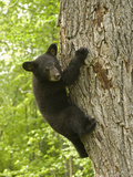 Black Bear (Ursus Americanus) Cub Climbing a Tree  North America