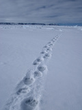 Polar Bear Tracks (Ursus Maritimus) in the Snow