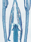 Longitudinal Section of the Anther in the Flower Bud of an Oleander (Nerium)  LM X4