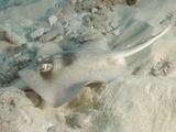 Masked Stingaree (Trygonoptera Personata)  Rottnest Island  Western Australia  Indian Ocean