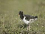 Redshank Chick (Tringa Totanus)  Iceland