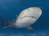 Lemon Shark (Negaprion Brevirostris)  Bahamas  Atlantic Ocean