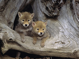 Coyote Pups (Canis Latrans)  Captive