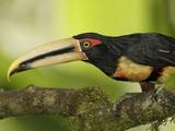 Pale-Mandibled Aricari (Pteroglossus Erythropygius)  Ecuador