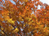 Chinese Pistache Tree in Full Fall Color