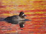 Female Lesser Scaup (Aythya Affinis)  California  USA