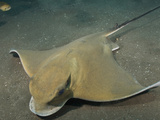 Eagle Ray (Myliobatis Aquila)  Los Gigantes  Tenerife  Canary Islands  Atlantic Ocean