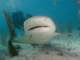 Scuba Diver Swimming Behind a Lemon Shark (Negaprion Brevirostris)  Tiger Beach  Bahamas