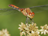 Ruby Meadowhawk Dragonfly (Sympetrum Rubidunculum) Infested by Mites