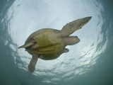Female Olive Ridley Sea Turtle (Lepidochelys Olivacea) Swimming from the Open Pacific Ocean