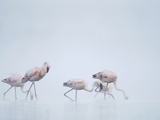 Lesser Flamingos (Phoenicopterus Minor) in Fog  Kenya  Africa