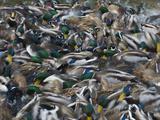 Wood Duck (Aix Sponsa) Feeding Frenzy  New Mexico  USA
