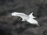 Swallow-Tailed Gull in Flight (Creagrus Furcatus)  Galapagos Islands