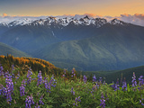 Early Summer Storm Clears the View of the Olympic Mountains  with Lupine Wildflowers