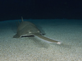 Green Sawfish (Pristis Zijsron)