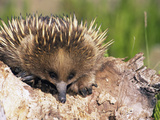 Short-Beaked Echidna Head (Tachyglossus Aculeatus)  New South Wales  Australia