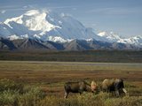 Moose Sparring on the Tundra with Mt Mckinley in The Background (Alces Alces)