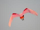 Roseate Spoonbill (Platalea Ajaja)  Florida  USA