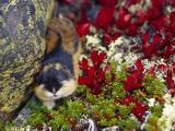 Norway Lemming (Lemmus Lemmus)  Sweden